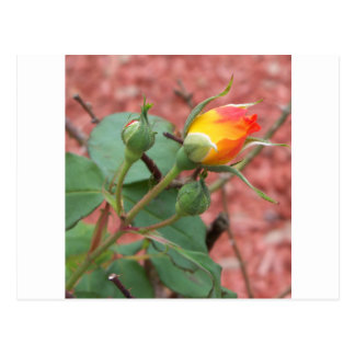 Cartão Postal botão cor-de-rosa amarelo e da laranja