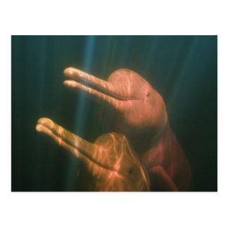Cartão Postal Boto, ou golfinho do Rio Amazonas (geoffrensis de
