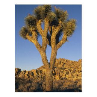Cartão Postal Brevifolia da árvore, da mandioca de Joshua), e