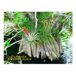 Cartão Postal Bromeliad em manguezais, marismas de Florida