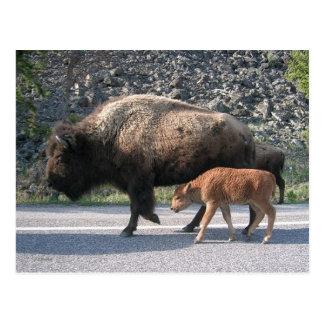 Cartão Postal Búfalo de Yellowstone