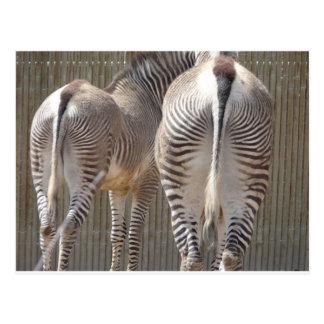 Cartão Postal bumbuns da zebra