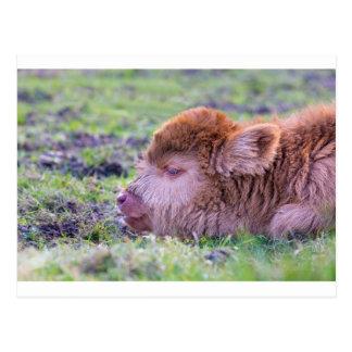 Cartão Postal Cabeça da vitela escocesa recém-nascida marrom do