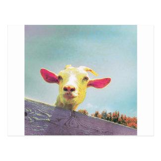 Cartão Postal cabra Cor-de-rosa-orelhuda