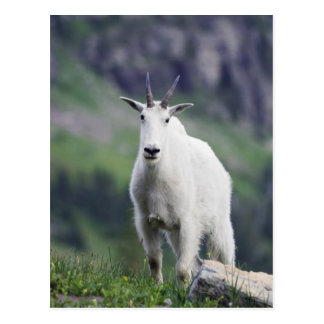 Cartão Postal Cabra de montanha, Oreamnos americano, adulto com