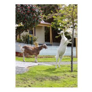 Cartão Postal Cabra que come da árvore