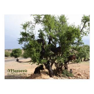 Cartão Postal Cabras nas árvores - árvores do argão, Marrocos