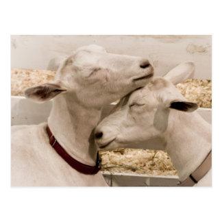 Cartão Postal Cabras que Snuggling