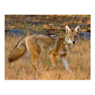 Cartão Postal Caça do chacal (Canis Latrans)
