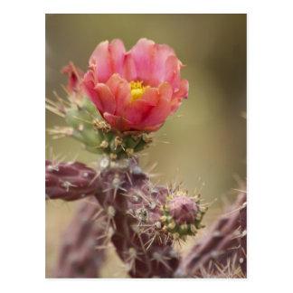 Cartão Postal Cacto de florescência de Cholla