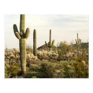 Cartão Postal Cacto do Saguaro, arizona, EUA