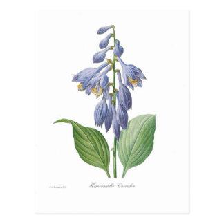 Cartão Postal Caerulea do Hemerocallis (Hosta)