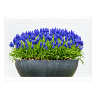 Cartão Postal Caixa cinzenta da flor do metal com os jacintos de