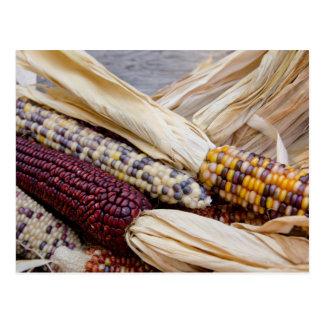 Cartão Postal Califórnia. Milho indiano colorido da colheita da