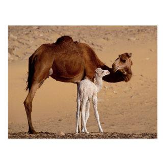 Cartão Postal Camelo da mãe do Dromedary de Brown e vitela