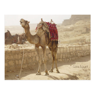 Cartão Postal Camelo em Giza Egipto