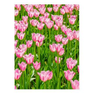 Cartão Postal Campo de flores cor-de-rosa da tulipa