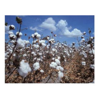 Cartão Postal Campo do algodão