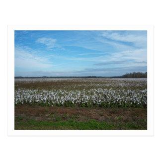Cartão Postal Campo Florida do algodão