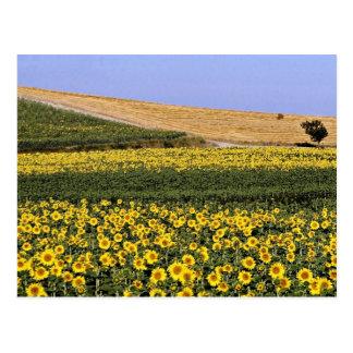 Cartão Postal Campos do girassol, flores de Toscânia, Italia