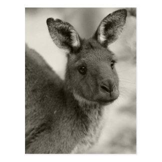 Cartão Postal Canguru no Sul da Austrália do santuário de