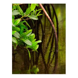 Cartão Postal Canoeing através dos manguezais quietos