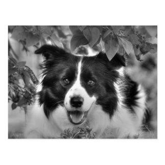 Cartão Postal Cão de border collie