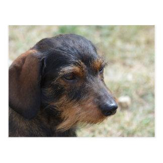 Cartão Postal Cão de cabelo de Daschund do fio
