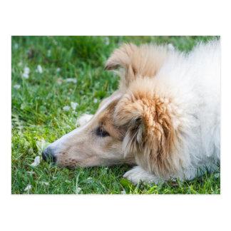 Cartão Postal Cão de filhote de cachorro do Collie, fim áspero