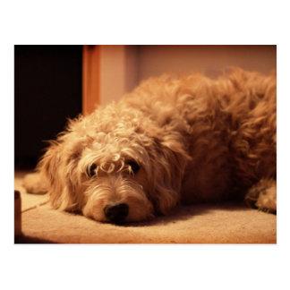 Cartão Postal Cão de Labradoodle que olha triste