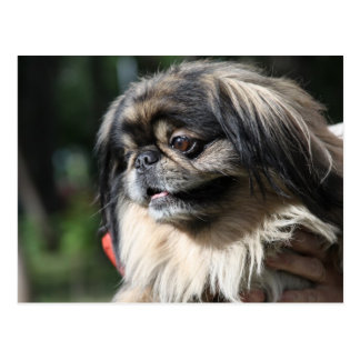 Cartão Postal Cão de Pekingese