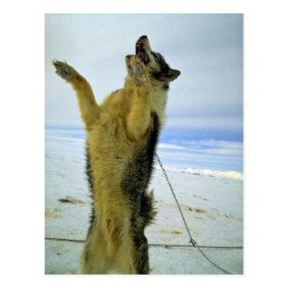 Cartão Postal Cão de trenó com fome
