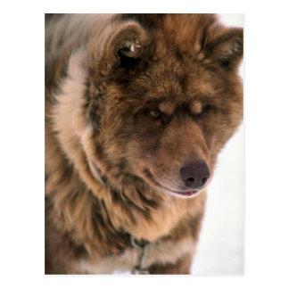 Cartão Postal Cão de trenó Eskimo