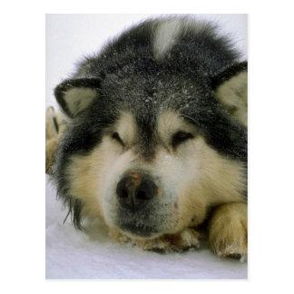 Cartão Postal Cão de trenó sonolento