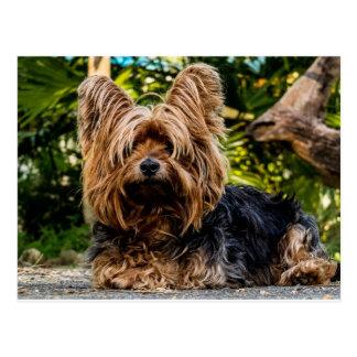 Cartão Postal Cão do yorkshire terrier