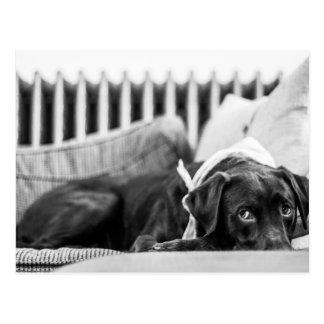 Cartão Postal Cão preto & branco que relaxa o laboratório