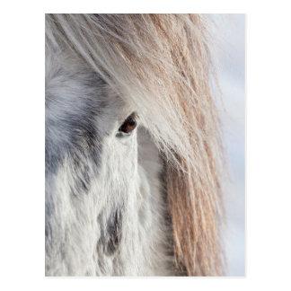 Cartão Postal Cara islandêsa branca do cavalo, Islândia
