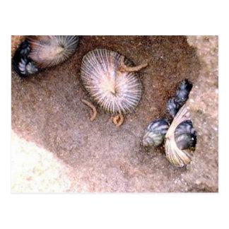 Cartão Postal Caracóis e Barnacles de mar