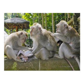 Cartão Postal Caranguejo-comendo o Macaque, fasciularis do