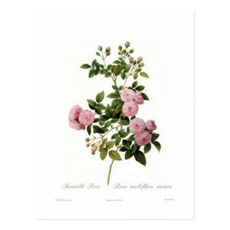 Cartão Postal Carnea do multiflora de Rosa (a amora aumentou)