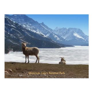 Cartão Postal Carneiros de Bighorn