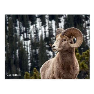 Cartão Postal Carneiros de Bighorn - Canadá