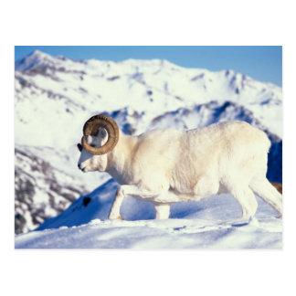 Cartão Postal carneiros de dall, dalli do Ovis, ram completa da