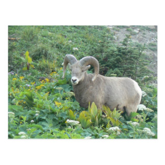 Cartão Postal carneiros de veado selvagem