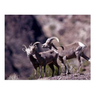 Cartão Postal Carneiros de veado selvagem do deserto (grupo