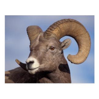 Cartão Postal carneiros grandes do chifre, carneiros de