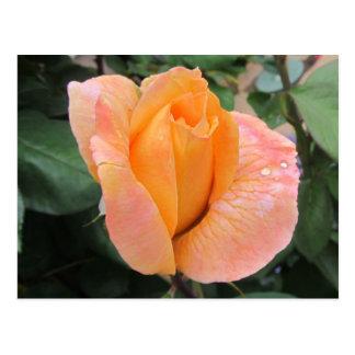 Cartão Postal Cartão--A laranja aumentou com gotas da chuva
