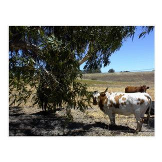 Cartão Postal Cartão: Dirija sob a árvore em Paso Robles, CA