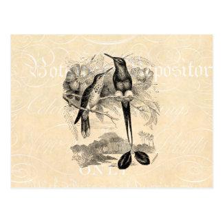 Cartão Postal Cauda da raquete do colibri da Raquete-Cauda dos