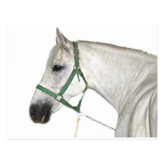 Cartão Postal Cavalo branco de Lipizzaner